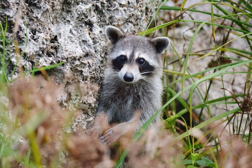 EyeEm Selects One Animal Animal Wildlife Mammal Looking At Camera Animals In The Wild Raccoon Outdoors Day No People Animal Themes Portrait Nature Close-up Tree Riverside