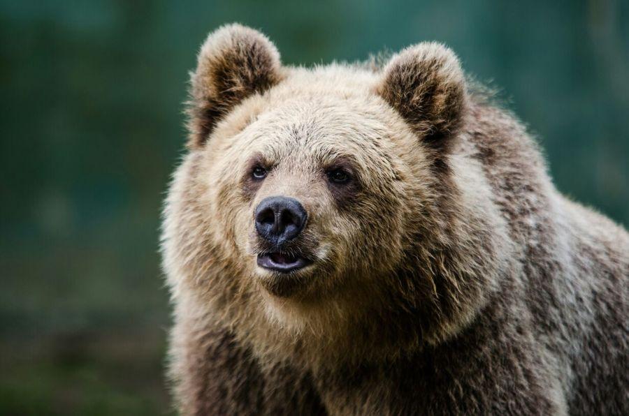 Bear Bear Brown Bear Animals