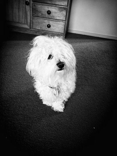 Rosita, my pet model. (Rosita, mi mascota modelo). Dog Pets Indoors  Portrait Maltese Black & White Modelling Perrita  Mascotas En Casa Retrato Maltes Blanco & Negro  Modelando The Portraitist - 2017 EyeEm Awards BYOPaper! Pet Portraits