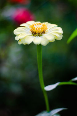 Flower Flowering Plant Fragility Vulnerability  Plant Freshness Beauty In Nature Growth Petal Close-up Flower Head Inflorescence Focus On Foreground Nature Yellow Plant Stem Day No People Outdoors Pollen
