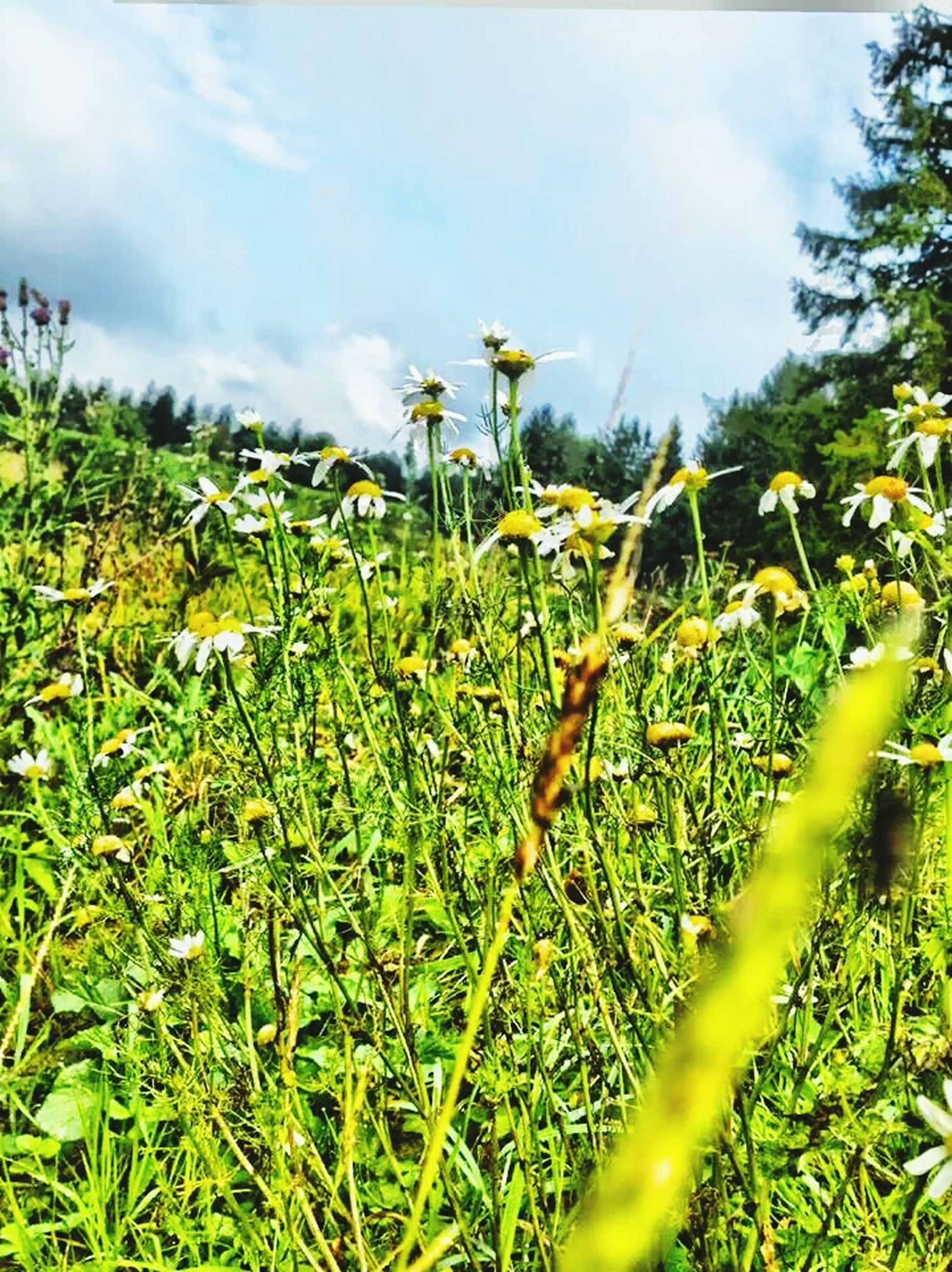 flower, growth, field, freshness, sky, plant, beauty in nature, nature, fragility, grass, stem, blooming, green color, yellow, growing, cloud - sky, wildflower, tranquility, in bloom, day
