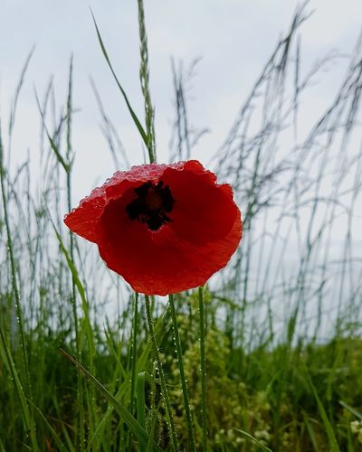 poppy Fragility Wildlife & Nature Beauty In Nature Red Nature Photography Nature Naturelovers Growth Beautiful Calmness Of Nature Grassland Field Sky Ambiance Waterdroplets Waterdrops Flower Flower Head Poppy Rural Scene Red Love Uncultivated Close-up Sky Wildflower In Bloom Blooming Plant Life Blossom