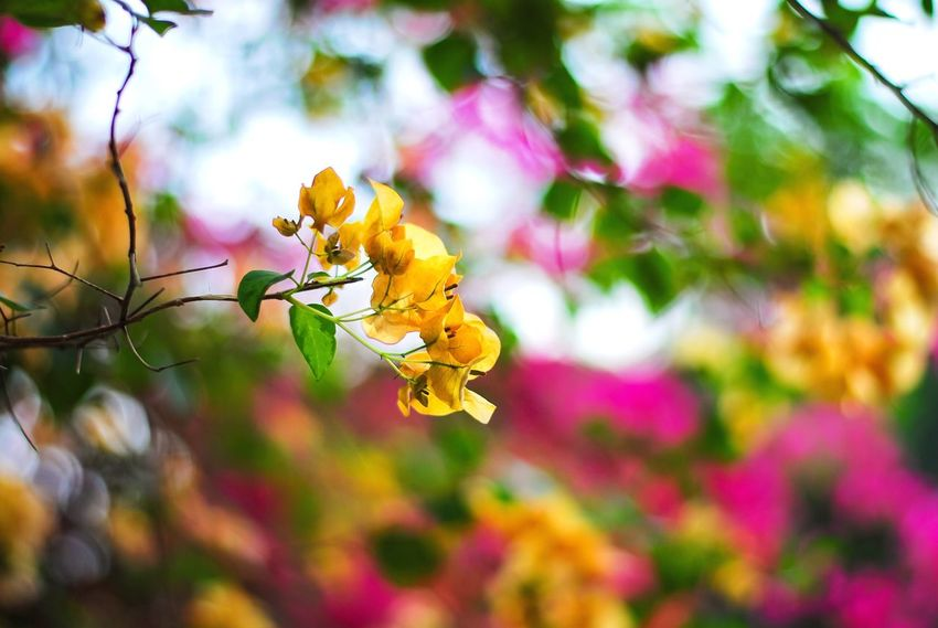 Beautiful bougainvillea EyeEm Nature Lover Flower Texture Yellow Bougainvillea Backgrounds Beautiful Flowers Beautiful Bougainvillea Flower Beauty In Nature Nature Growth Close-up