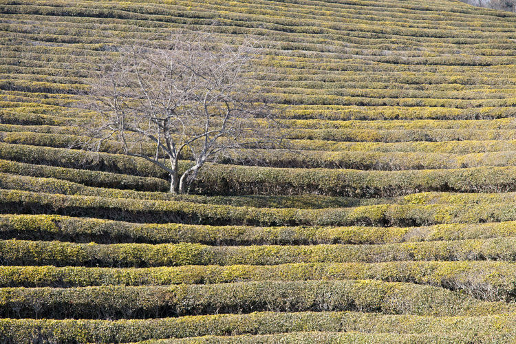 Low Angle View Of Green Tea Field