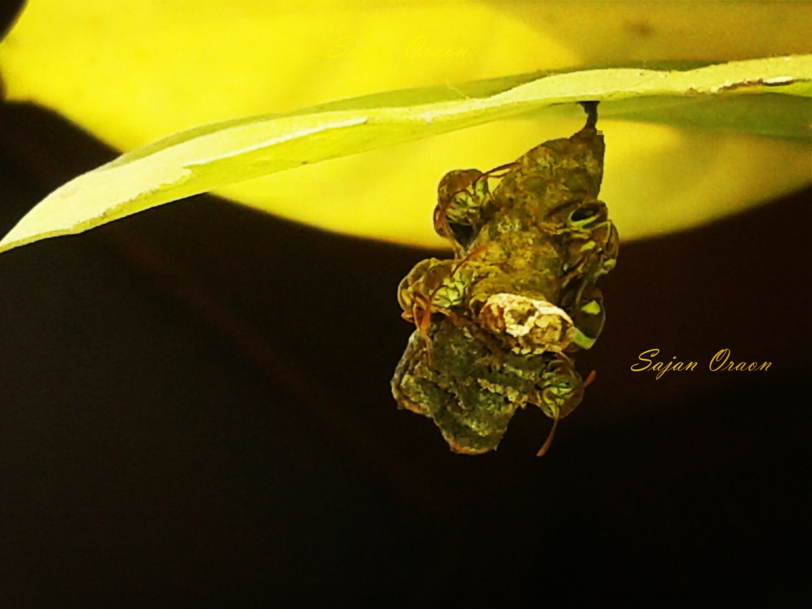 close-up, indoors, leaf, focus on foreground, one animal, selective focus, animal themes, no people, nature, insect, yellow, plant, glass - material, green color, table, fragility, studio shot, black background, reflection, hanging