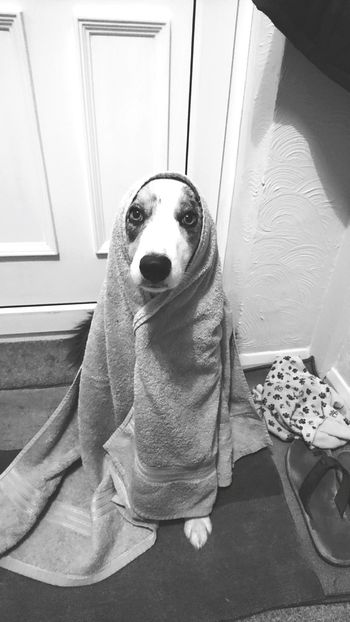 It's ET... 😂 Dog Pets Looking At Camera Portrait Sitting No People Indoors  Animal ThemesMammal Domestic Animals Towel Getting Dry Comfortable ET