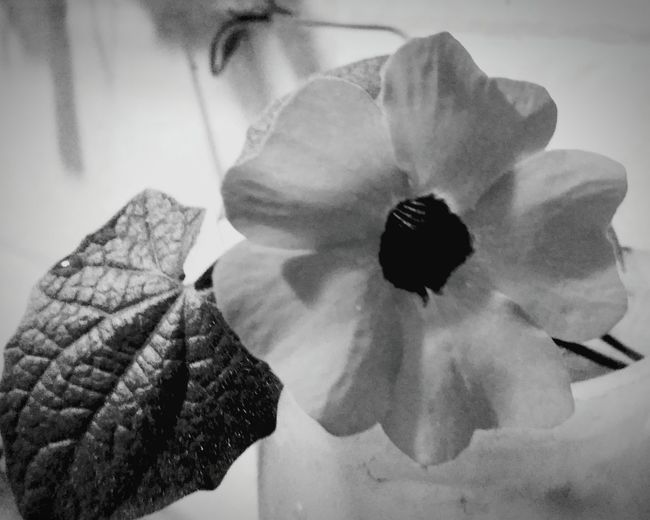 EyeEm Selects Flower Flower Head Petal Freshness Poppy Close-up No People Beauty In Nature Day Nature Soft Focus Black&white Flowers