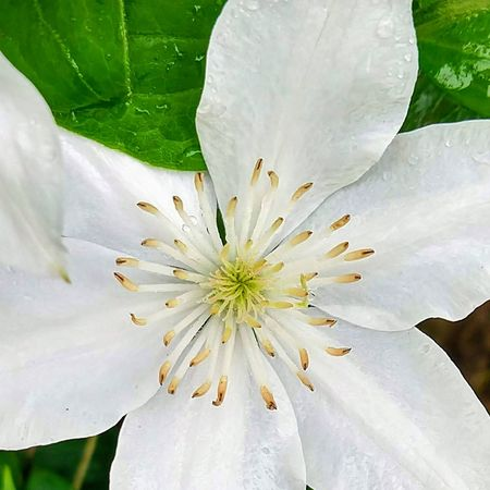 Clematis Plant Life In Bloom Flowering Plant Blooming