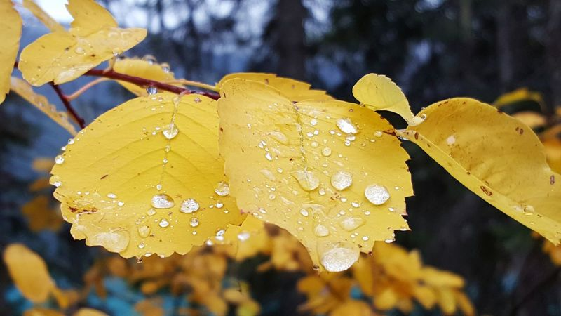 Water Drop Wet Yellow Close-up Fragility Season  Leaf Freshness Beauty In Nature Focus On Foreground Nature Growth Day Dew Plant Droplet Purity Scenics Petal Fall Autumn Colors Fall Colors