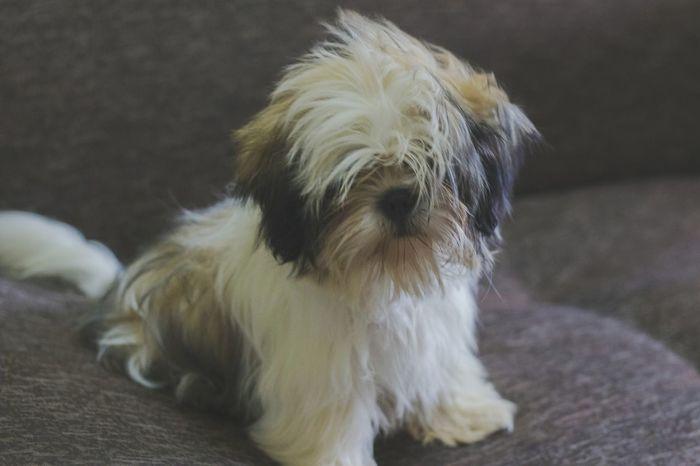 Chloe. :) Dog Animal Themes Pets Domestic Animals One Animal Mammal No People Shih Tzu Close-up Day Photographing SLR Camera