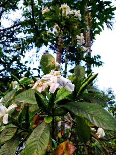 White Flower Blue Sky Green Leaves Country Home Aromatic Flowers Aromatic At Night Mobile Capture...... Portrait Format Nature Mother Nature Beauty In Nature Day Time West Bengal India