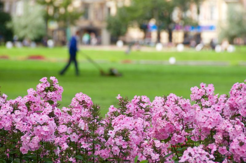 Pink flowers blooming at park