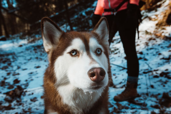 Animal Themes Close-up Cold Temperature Day Dog Domestic Animals Mammal Nature One Animal One Person Outdoors Pembroke Welsh Corgi Pets Siberian Husky Sled Dog Snow Tree Winter