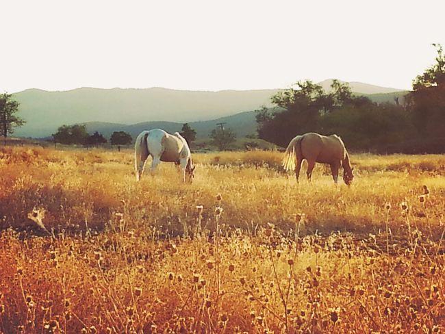 Fall BeautyTwo beautiful horses grazing in a field, enjoying the cool fall weather.