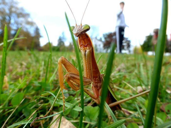 Praying mantis. Praying Mantis Grass Macro Lumix Macroinsect Macro Photography