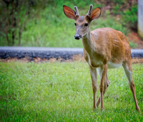 Deer Standing Deer Animal Animal Themes Animal Wildlife Animals In The Wild Day Deer Grass Green Color Land Mammal Nature No People One Animal Outdoors Standing