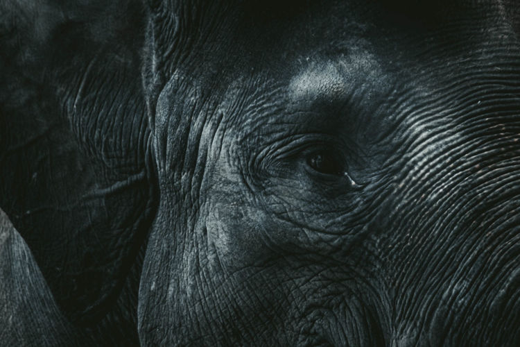 Close up of elephant head with wide ears