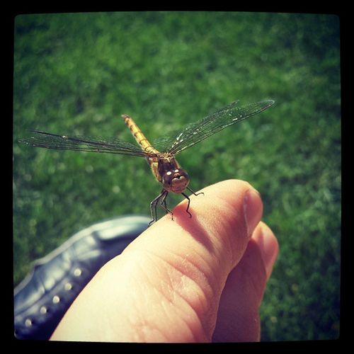 Dragonfly Nature Insect Wildlife Park London