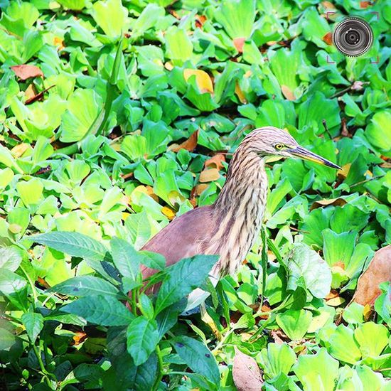 ~~~~~~~~~~~~~~~~~~~~~~~~~~~~~~~~~~~~~~~ 🍀 🌿🇮🇳🇩🇮🇦🇳🔸🇵🇴🇳🇩🔸🇭🇪🇷🇴🇳 🌿 🍀 ~~~~~~~~~~~~~~~~~~~~~~~~~~~~~~~~~~~~~~~ 🐤 🐦 CAPTURED AT TRIVANDRUM, KERALA 🐦 🐤 ~~~~~~~~~~~~~~~~~~~~~~~~~~~~~~~~~~~~~~~ The Indian pond heron or paddybird (Ardeola grayii) is a small heron. It is of Old World origins, breeding in southern Iran and east to Pakistan, India, Burma, Bangladesh and Sri Lanka. They are widespread and common but can be easily missed when they stalk prey at the edge of small water-bodies or even when they roost close to human habitations. They are however distinctive when they take off with bright white wings flashing in contrast to the cryptic streaked olive and brown colours of the body. Their camouflage is so excellent that they can be approached closely before they take to flight, a behaviour which has resulted in folk names and beliefs that the birds are short-sighted or blind. ~~~~~~~~~~~~~~~~~~~~~~~~~~~~~~~~~~~~~~~ All images are subject to ©copyright No repost, regram or reproduce without prior permission All rights reserved Indianpondheron Paddybird Birds Nature Birdphotography Birdlover Kerala GodsOwnCountry Trivandrum Convexrevolution Yin_india _soi Indianphotographer Desi_diaries Instabirds Photographers_of_india Vasco Pond Green Greenery Birdsofinstagram Click_india_click Explorethroughcamera Birdphotography Naturewatch birdwatching