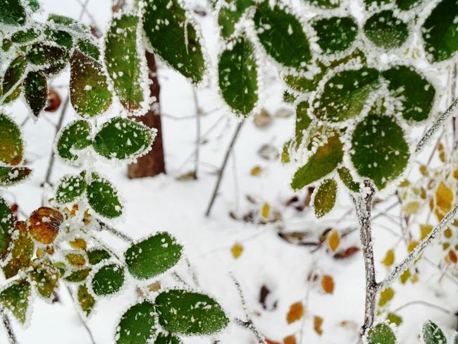 Winter Full Frame Nature Backgrounds Snow Cold Temperature No People Weather High Angle View Close-up Day Outdoors Tree Plant Beauty In Nature City And Nature Snow On Leaf EyeEm Nature Lover Winter Snow And Plants Beauty In Nature Nature Cold Freeze Frost Crystals
