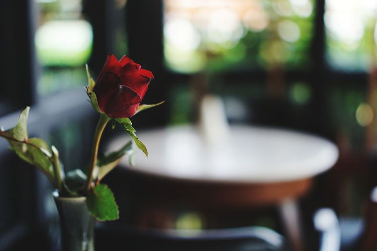 ruse in the cafe. Flower Fragility Beauty In Nature Freshness Nature Day No People Close-up Outdoors Plant Growth Focus On Foreground Red Flower Head