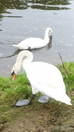 Water White Color Animals In The Wild Animal Wildlife Swan Bird Nature Day Outdoors Animal Themes No People Gunthorpe River Trent River Travel Photography Nottingham UK