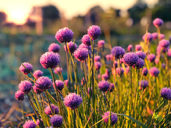 Chive flowers at sunset Beauty In Nature Close-up Field Flower Flower Head Flowering Plant Focus On Foreground Fragility Freshness Growth Inflorescence Land Nature No People Outdoors Petal Pink Color Plant Purple Selective Focus Springtime Vulnerability