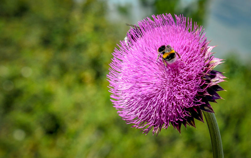 Flower Purple Bee Nature Animal Insect Close-up Plant