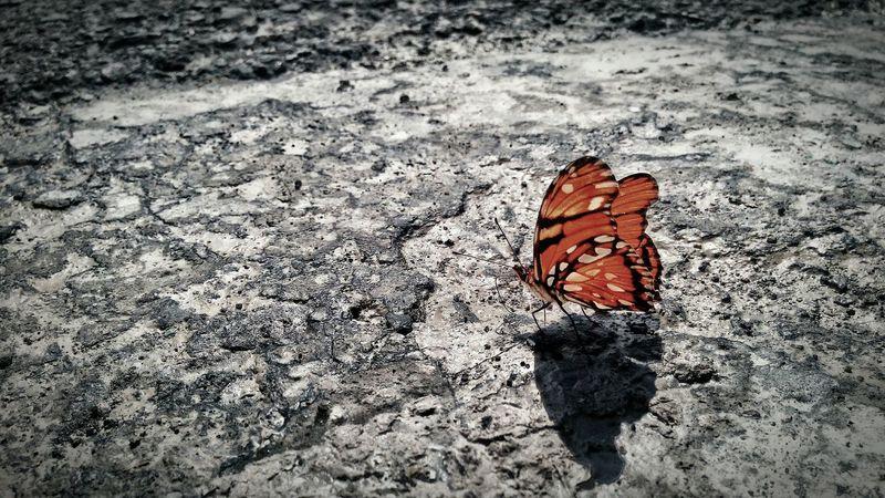 Mariposa Butterfly Naranja Negro Mexico Mexicanphotographer