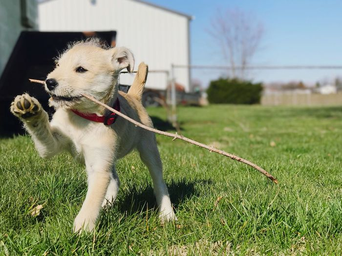 Dog carrying stick in mouth on field