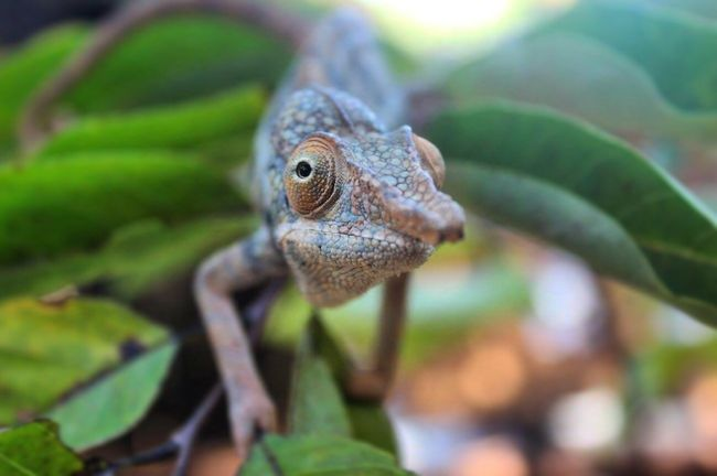 Pet Portraits First Eyeem Photo Chameleon Animals In The Wild One Animal Nature Reptile Herpetology Animal Wildlife Lizard Followme Photography Animal Themes Close-up Focus On Foreground Green Outdoors No People Camouflage Madagascar