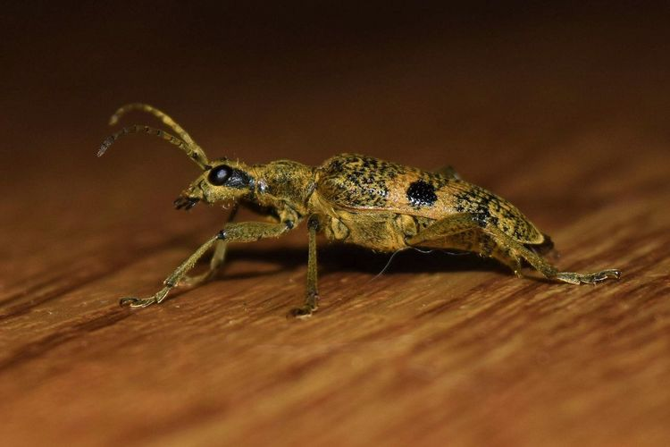 Animal Themes Bedfordshire Longhorn Beetle Bugslife Close-up Creepy Crawly No People One Animal Wildlife Photography
