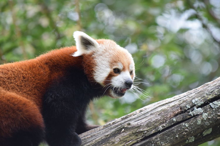 Close-up of red panda on wood