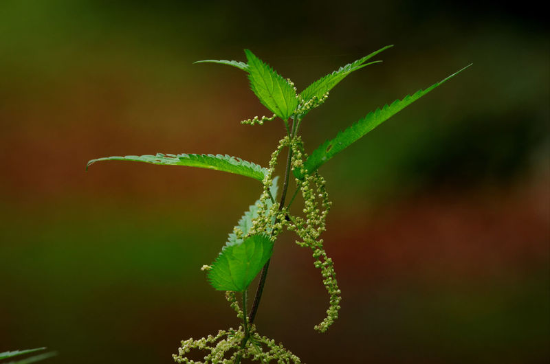 Beauty In Nature Brennnessel Close-up Focus On Foreground Fragility Freshness Green Color Growth Leaf Nature Nettle No People Outdoors Plant Stinging Nettle