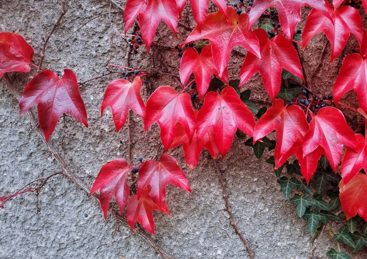 Red Leaf Autumn