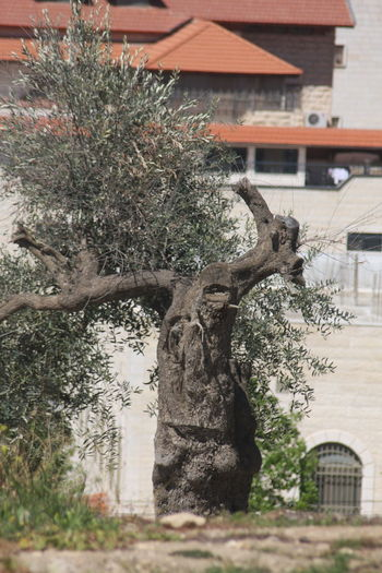 What u can see in these Olive tree.... Hebron University Nature Interior Views Hello World Moment Of Silence