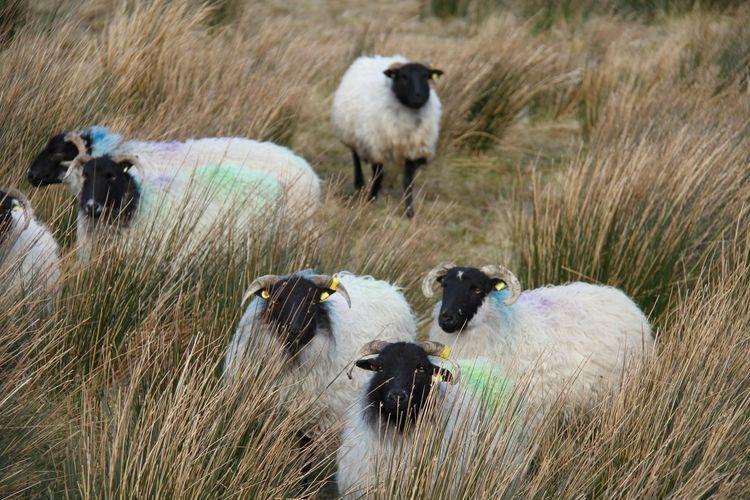 Being watched...Gleniff Horseshoe County Sligo Colourful Sheep Focus On Foreground Gleniff Horseshoe Herd Irish Sheepdog Livestock On Of The Crowd Pasture Rainbow Sheep Reeds And Rushes Sligo Wildlife Sligowhoknew The Bouncers Wooly Watchers