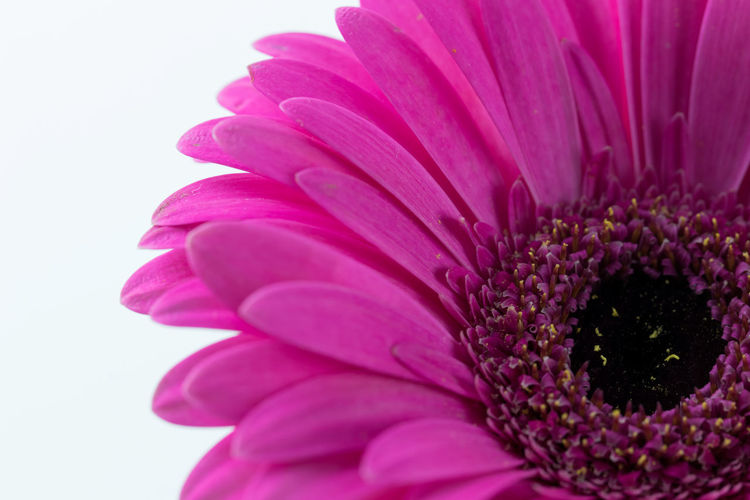 pink flower on white background close up Beauty In Nature Close Up Close-up Flower Flower Head Flowering Plant Fragility Freshness Gerbera Daisy Growth Indoors  Inflorescence Macro Nature No People Petal Pink Color Plant Pollen Purple Studio Shot Vulnerability  White Background White Background,