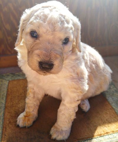 Beautiful white baby pup. Komondor/Poodle/Spaniel. Looking At Camera Dog Portrait Pets One Animal Close-up Puppy Indoors  Day Adorable Adorable Puppy Cute Pets EyeEm Nature Lover EyeEm Best Shots Komondor  Poodle Spaniel Farm Life Dogs Of EyeEm Puppy Love PuppyLove Puppies Fluffy Animal Themes