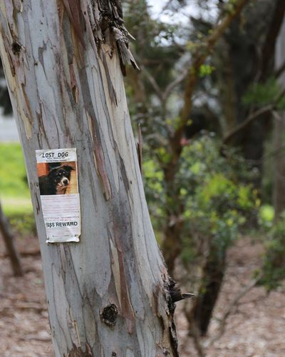 Sad poster for someone's lost dog placed on random gumtree. Bark Bushland Close-up Day Focus On Foreground GumTree Lost Dog Missing Pets Missing Poster Nature No People Outdoors Text Tree Tree Trunk Wood - Material