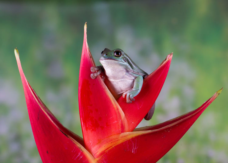 Close-up of a frog on red flower