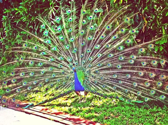Memories Peacock Hdr_Collection EyeEm Best Shots - HDR