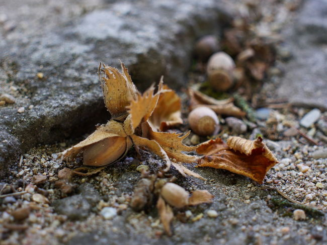 Food And Drink Nuts Plant Part Autumn Change Close-up Day Drink And Food Dry Falling Food Land Leaf Leaves Nature No People Nut Nut - Food Outdoors Plant Part Rock Rock - Object Selective Focus Solid Surface Level