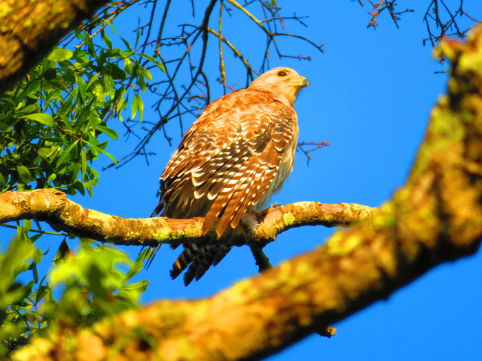 Wild hawk in nature Florida Hawks Hawks Of Eyeem Hawk Wildlife & Nature Bird Tree Bird Of Prey Perching Branch Blue Full Length Sky Animal Themes Hawk - Bird The Great Outdoors - 2019 EyeEm Awards