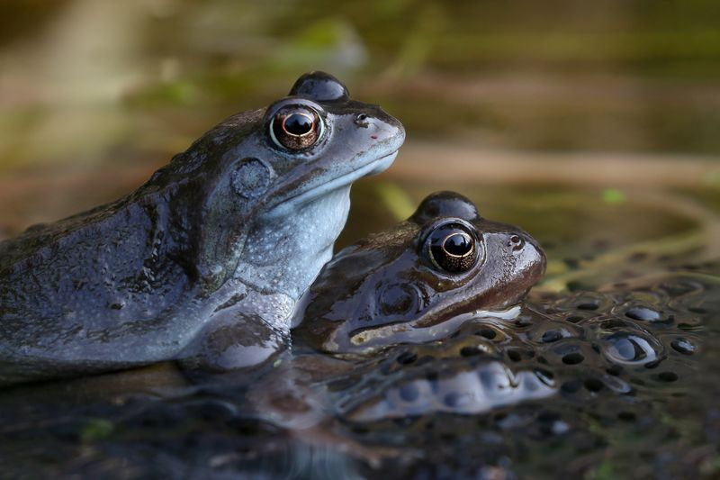 Mating Froga Animal Themes Animal Animal Wildlife Animals In The Wild Vertebrate Amphibian Reptile Group Of Animals No People Close-up Frog Animal Body Part Nature Two Animals Water Day Animal Eye Outdoors Selective Focus Animal Head