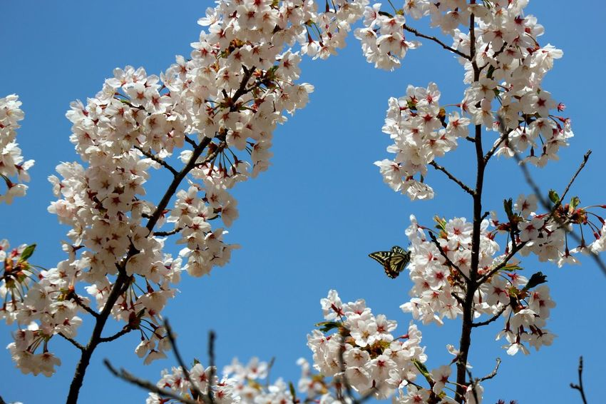 Flower Head Tree Flower Clear Sky Branch Springtime Pink Color Blue Blossom Apple Blossom