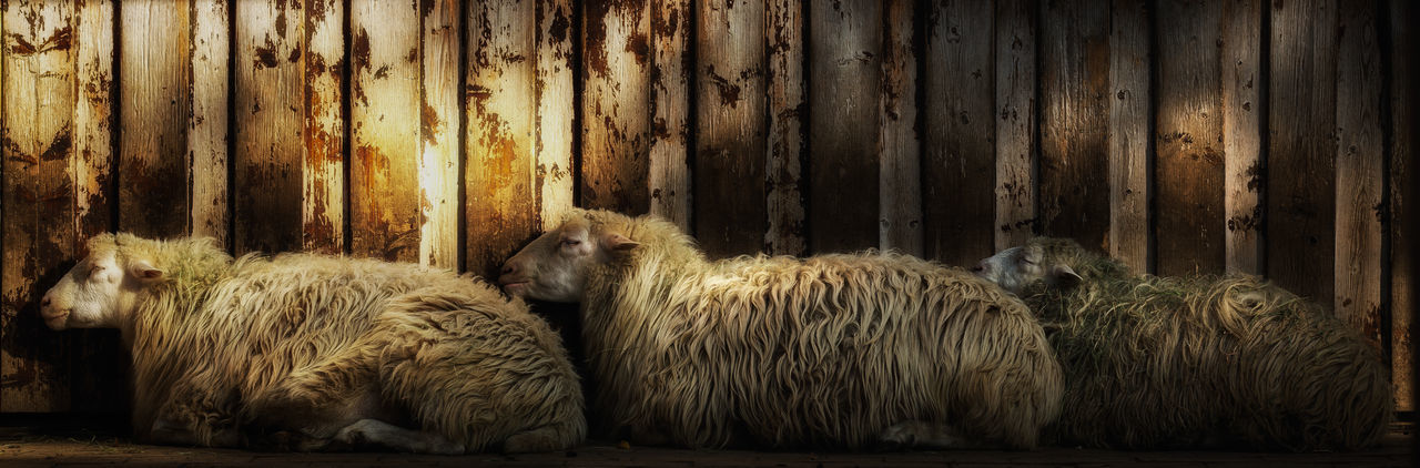 Panoramic View Of Sheep Sleeping Against Wall