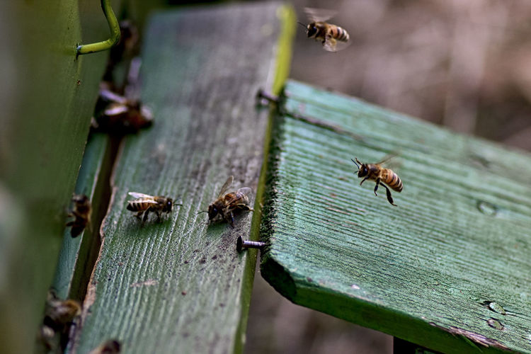 High angle view of honey bees on wood