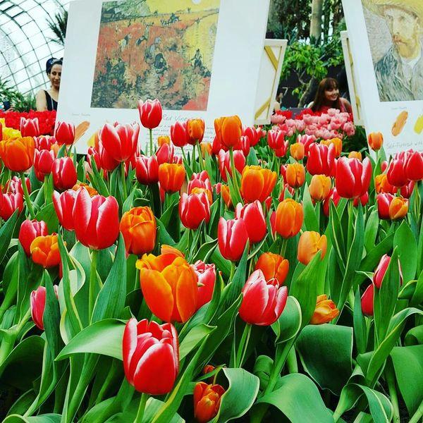 Tulips🌷 Flower Beauty In Nature Red Singapore Tulipseason Beautiful Beautifulflower