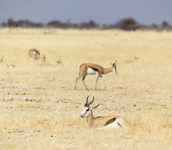 A springboks in